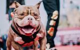 青州市举办美国恶霸犬展览.jpg