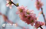 三月春阳花始开.jpg
