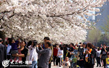 樱花季迎来首个双休日.jpg