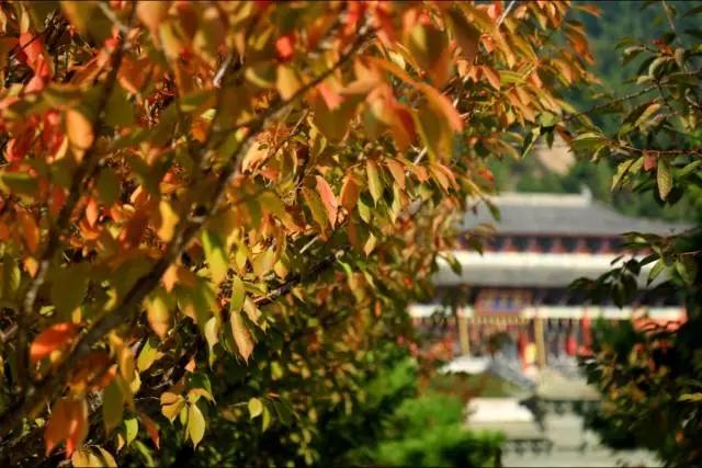 极乐菩萨界樱花树叶渐变红