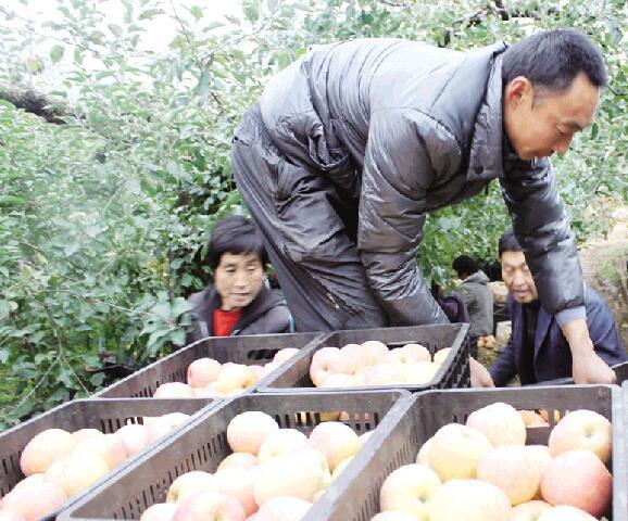 彩票刮刮乐能中大奖吗:苹果价格连续三年走低_价低也难卖果农伤不起
